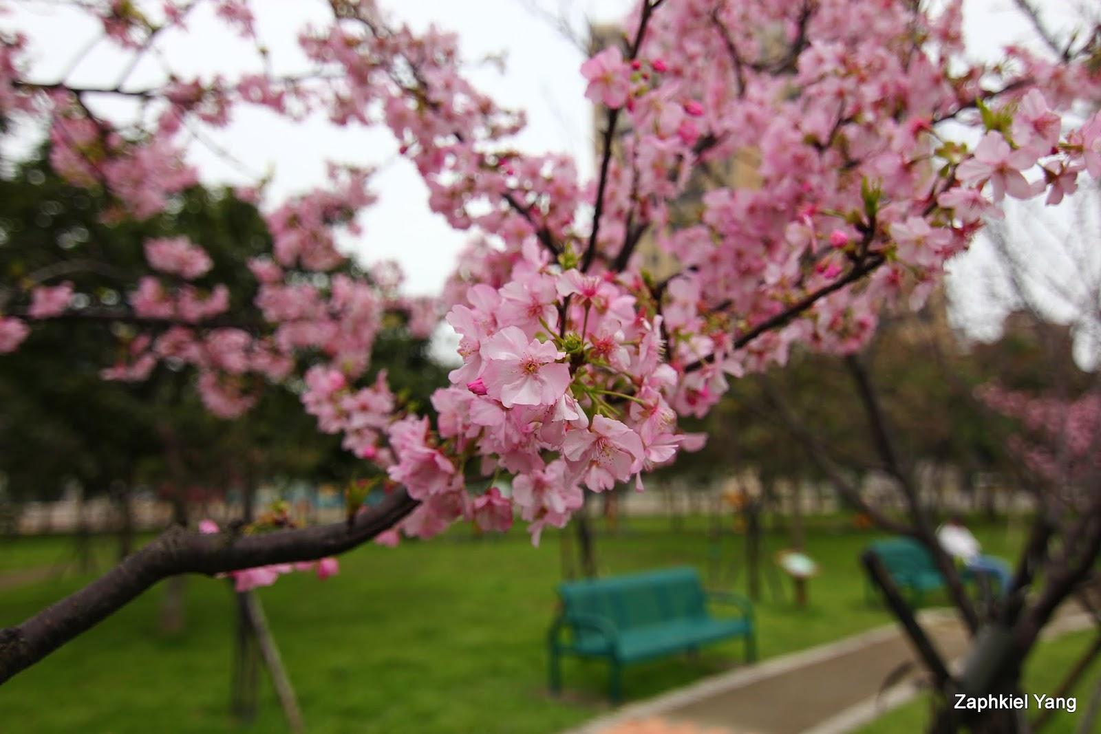 【新竹 東區】櫻花盛開的麗池公園
