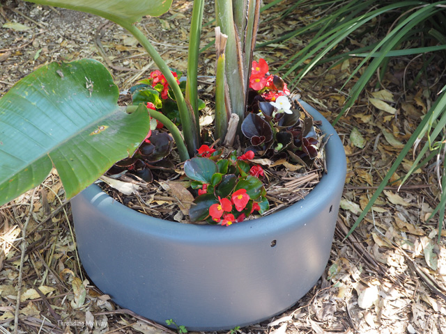 Old enamel washing machine bowl used to contain bedding begonias and bird of paradise ~ Threading My Way