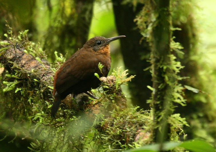 Sclerurus mexicanus