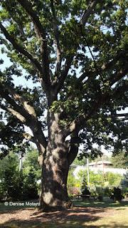 Giant White Oak, Marsh Botanical Garden, Yale University, New Haven, CT - Denise Motard