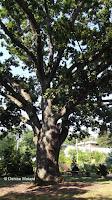 Giant white oak, Marsh Botanical Garden - Yale University, New Haven, CT