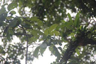 Gambar atau foto Tanaman Kesambi / Kecacil (Schleichera Oleosa (Lour.) Oken)