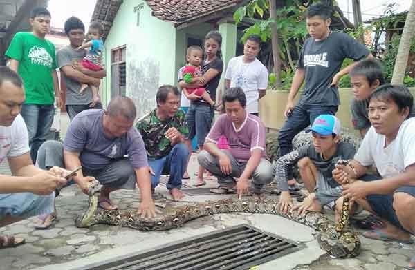 warga karangjalak kota cirebon taklukan ular sanca