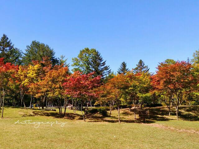 taman maple di nami island yang mulai menguning di awal musim gugur