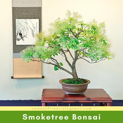 Smoketree Bonsai