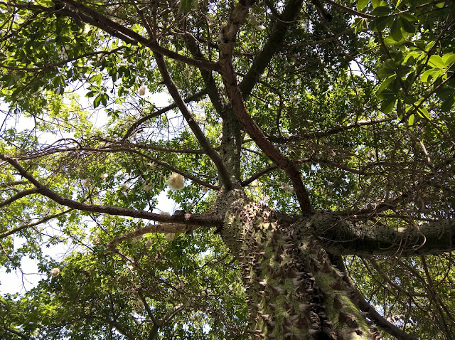 Tronco Ceiba speciosa
