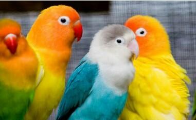 Rahasia Ternak LoveBird Bagi Pemula Agar Cepat Bertelu