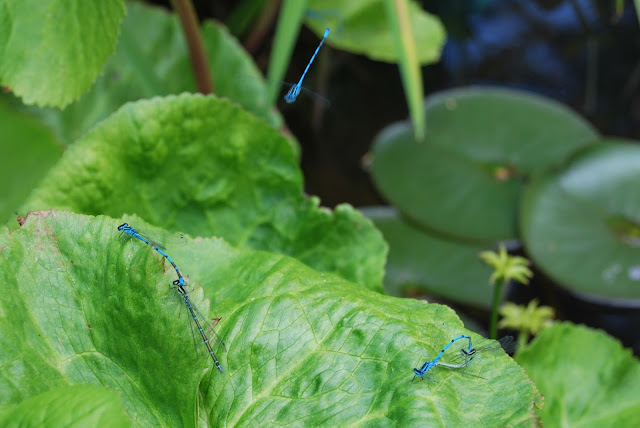 Damselflies, Bramber village, Sussex
