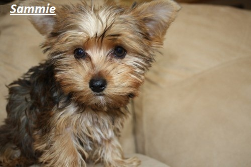 yorkshire terrier for adoption yorkshire terrier puppies for adoption 1778