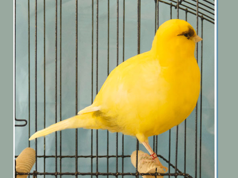 Mengenal Burung Kenari Border