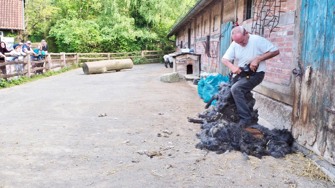 Schafschur im Erlebniszoo Hannover