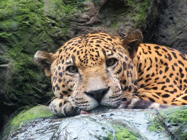 leopard costa rica