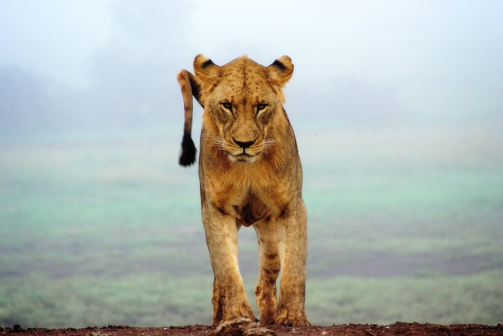 Lioness running towards in pride images