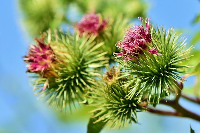 What Is Burdock and What are Burdock Benefits?