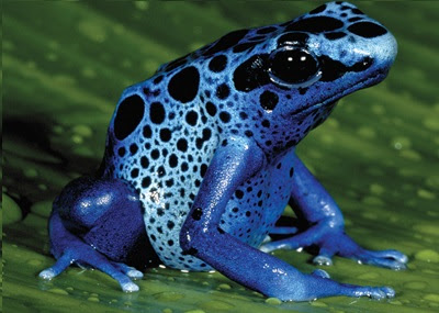 zehirli kurbağa
