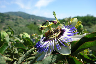 bees love passion flower