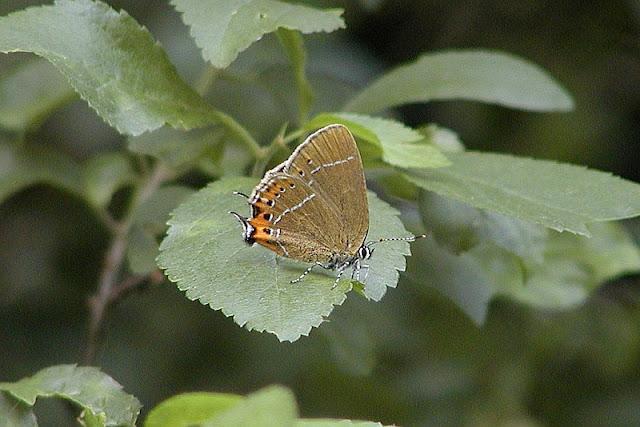 Pflaumen-Zipfelfalter, Satyrium pruni