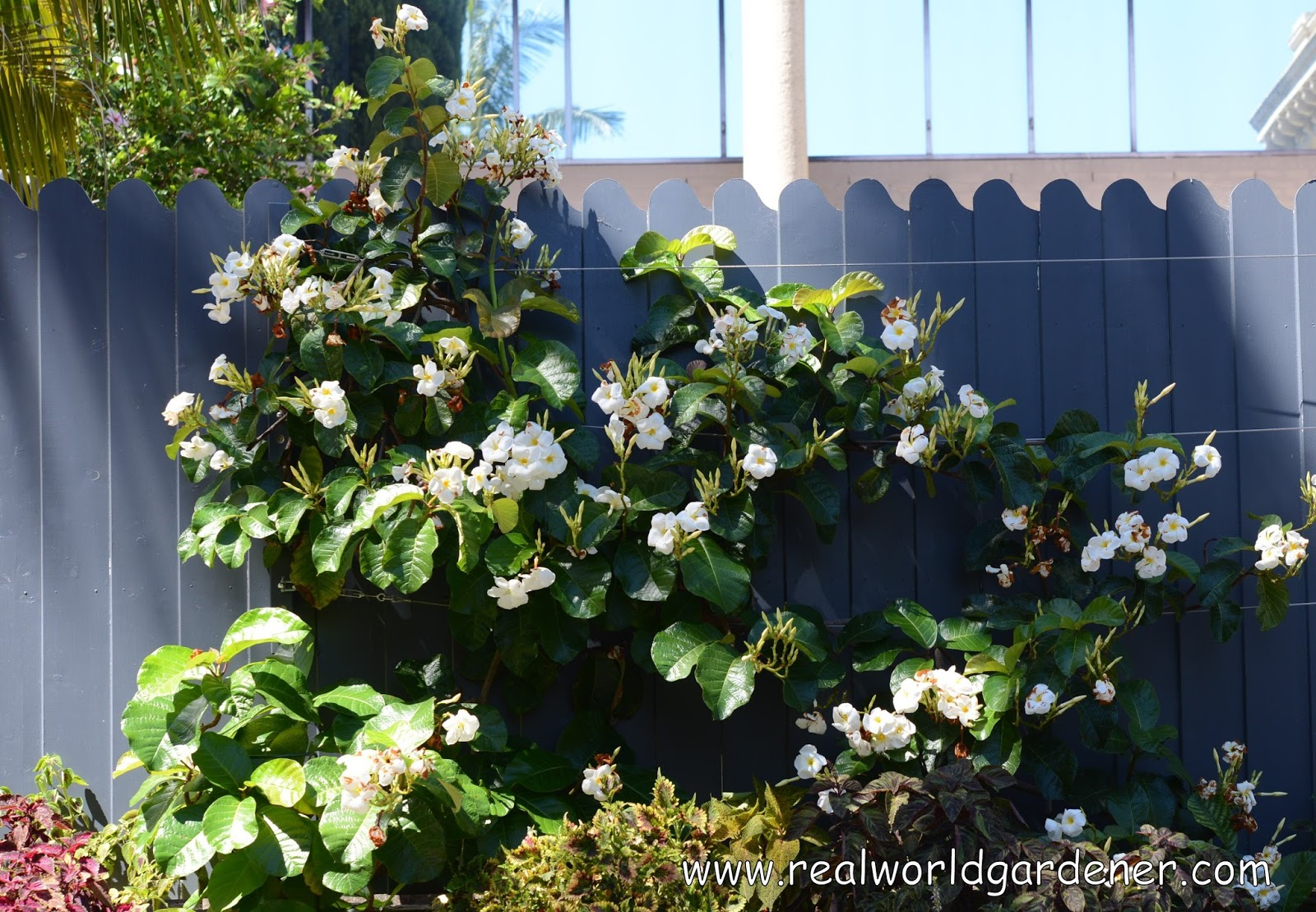 Real world gardener minty with a hint of climbing jasmine - Climbing plants that produce fragrant flowers ...