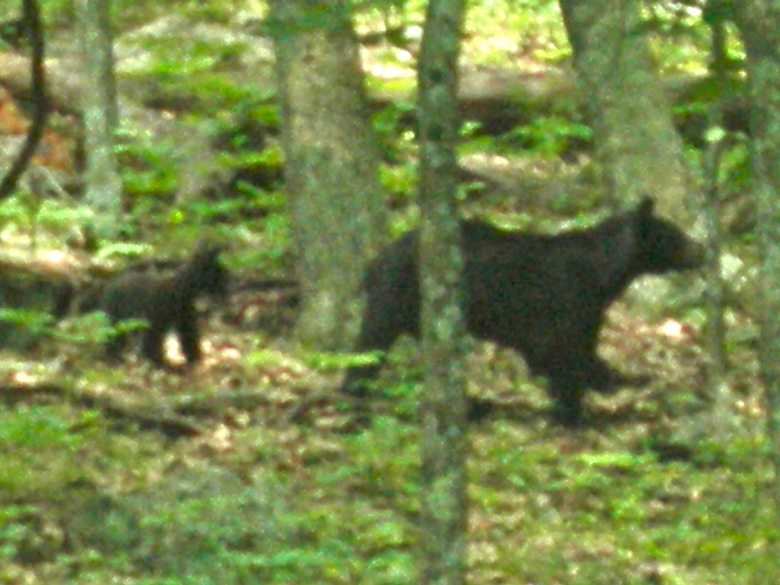 Bear Spotted Along Skyline Drive, Shenandoah National Park, VA