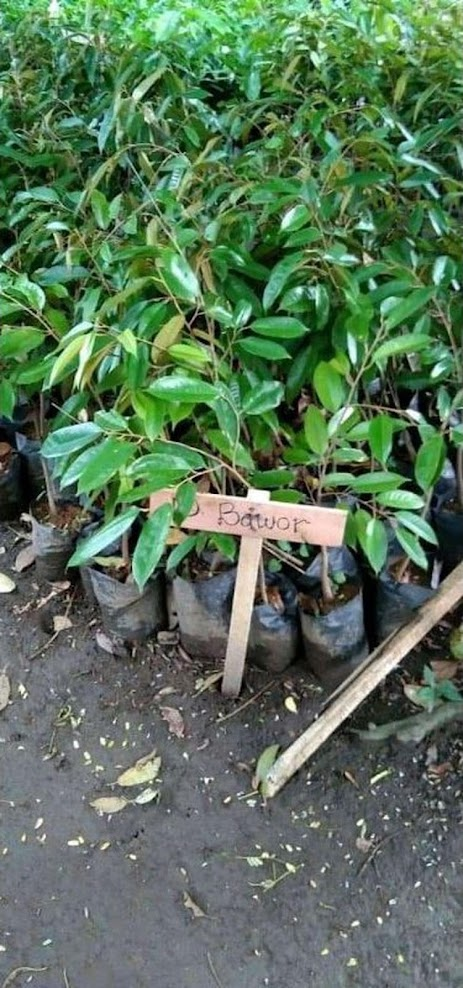 Bibit Buah Durian bawor cepat berbuah bibit durian bawor genjah bisa berbuah dalam pot Banjar