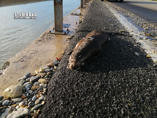 Σπάνια Ευρωπαϊκή ενυδρίδα βρέθηκε νεκρή στην Αργολίδα