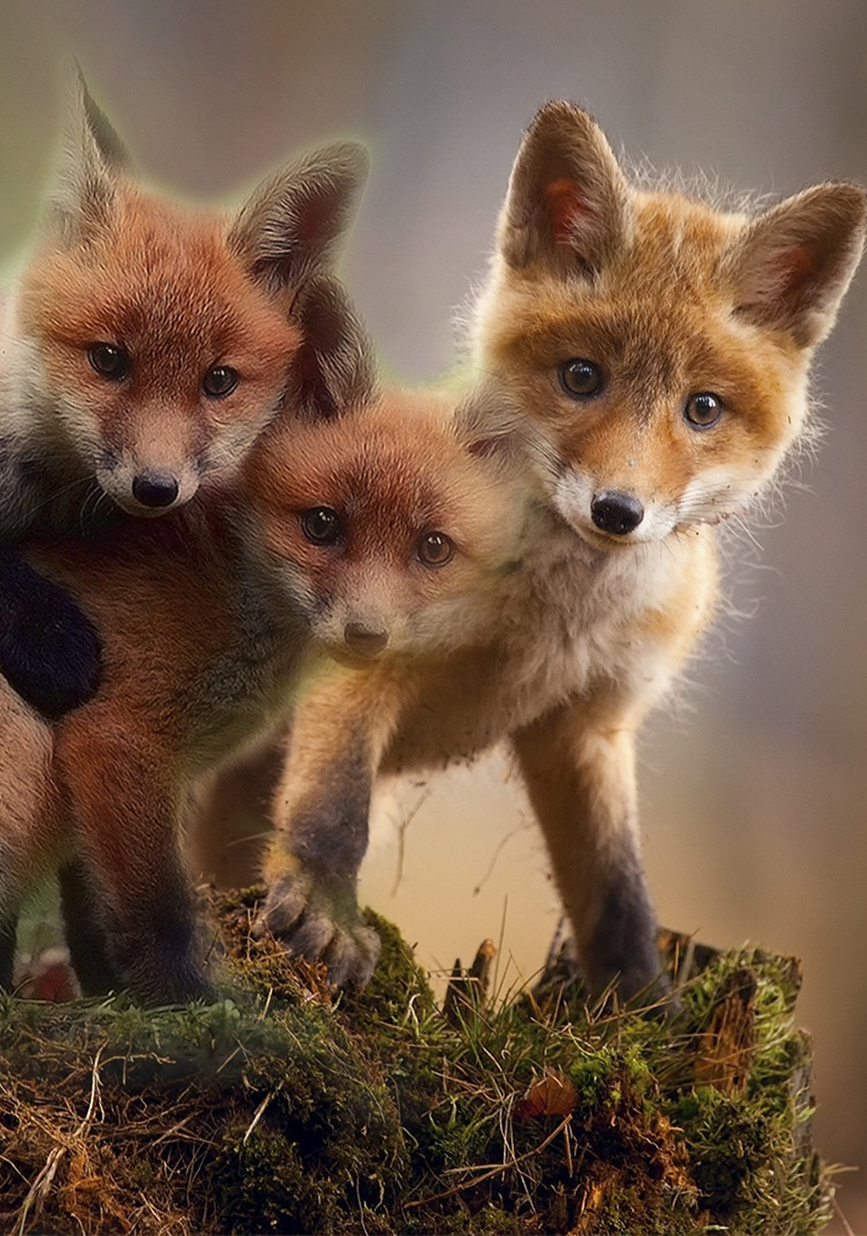 Cute red fox cubs.