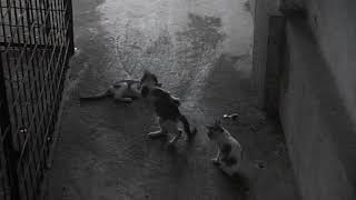 3 cats playing together with a brickbat