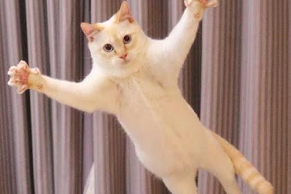 قطة راقصة يابانية تشاكوا تخطف أضواء على مواقع التواصل الاجتماعي