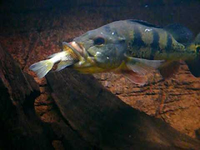 Makanan Ikan Pbass