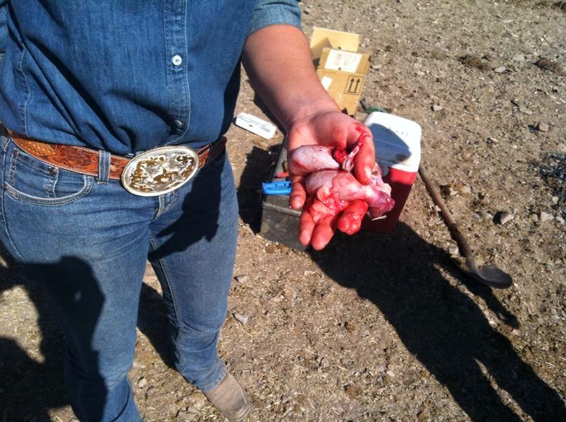 My summer in Arizona: Cowgirl skills part 3: branding and