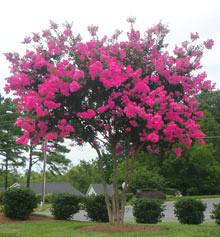 Pink Velour Crape Myrtle Size, Spacing, Growth Rate, Varities