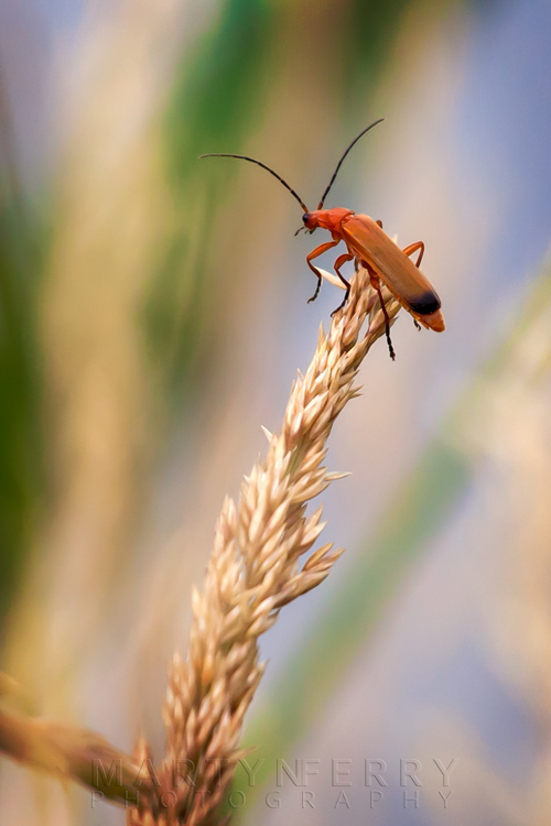 Close up image of a soldier beetle at Ouse Fen Nature Reserve