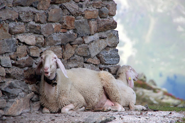 Sheep with her lamb in front of their stable on a mountain in Kühtai in Austria