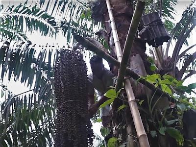 gambar pohon aren enau Cara Membuat Gula Aren Boronou Rokan Hulu