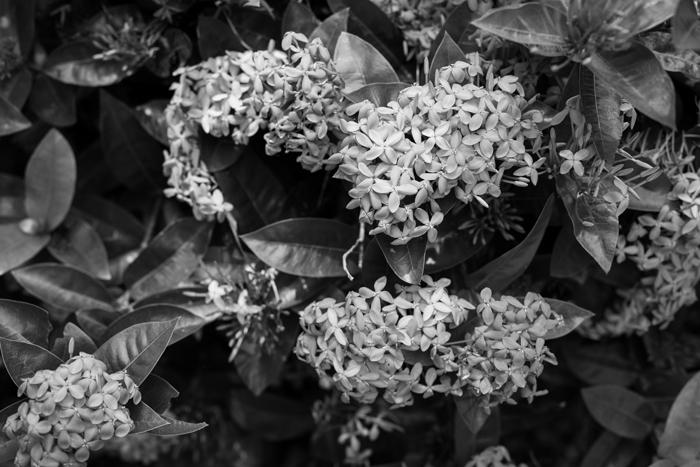 b&w flowers photo