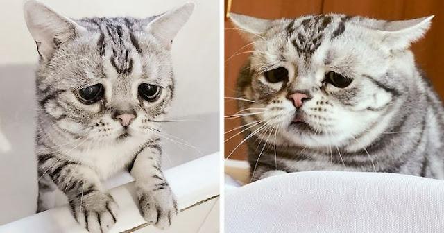 Meet Luhu, The Saddest Cat In The World