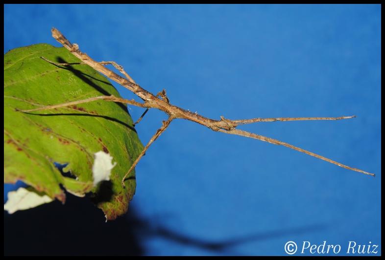 Ninfa hembra L4 de Onchestus rentzi, 5,5 cm de longitud
