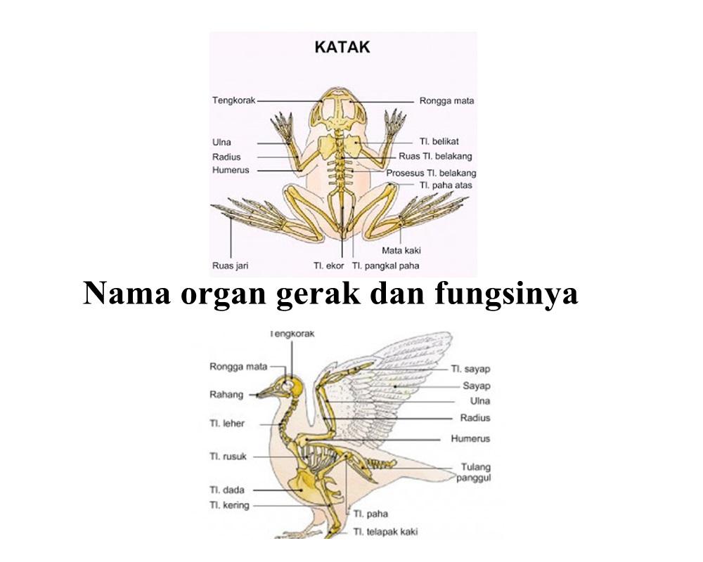Nama organ gerak dan fungsinya ikan katak burung ular kadal dan kambing