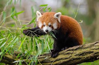 Mengenal Panda Merah, Hewan Imut yang Mirip Rakun