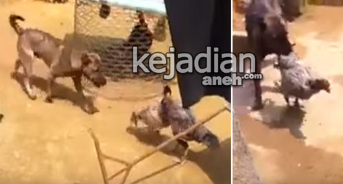 Anjing Melerai Ayam Berkelahi