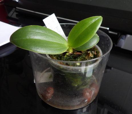 Bébés phalaenopsis Phal_kunstleri_X_equestris_19_05_19_01