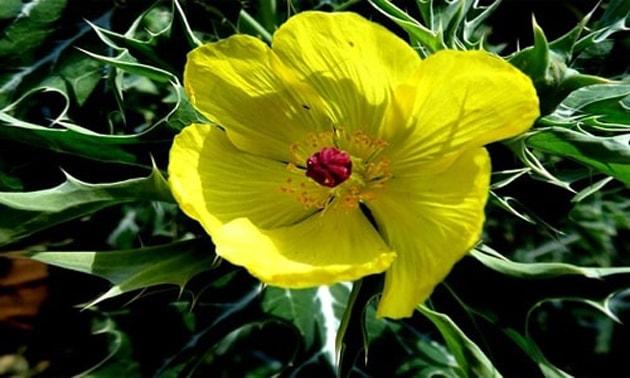 Cardo santo (Carduus benedictus, Cnicus benedictus, Centaurea benedicta, Calcitrapa lanuginosa)