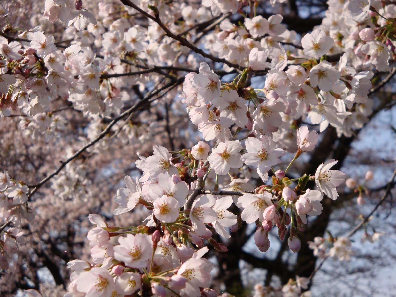 満開の桜の小枝