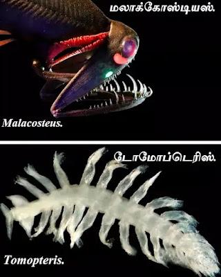 Malacosteus