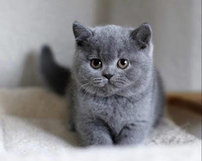 Cara Merawat Kucing BSH