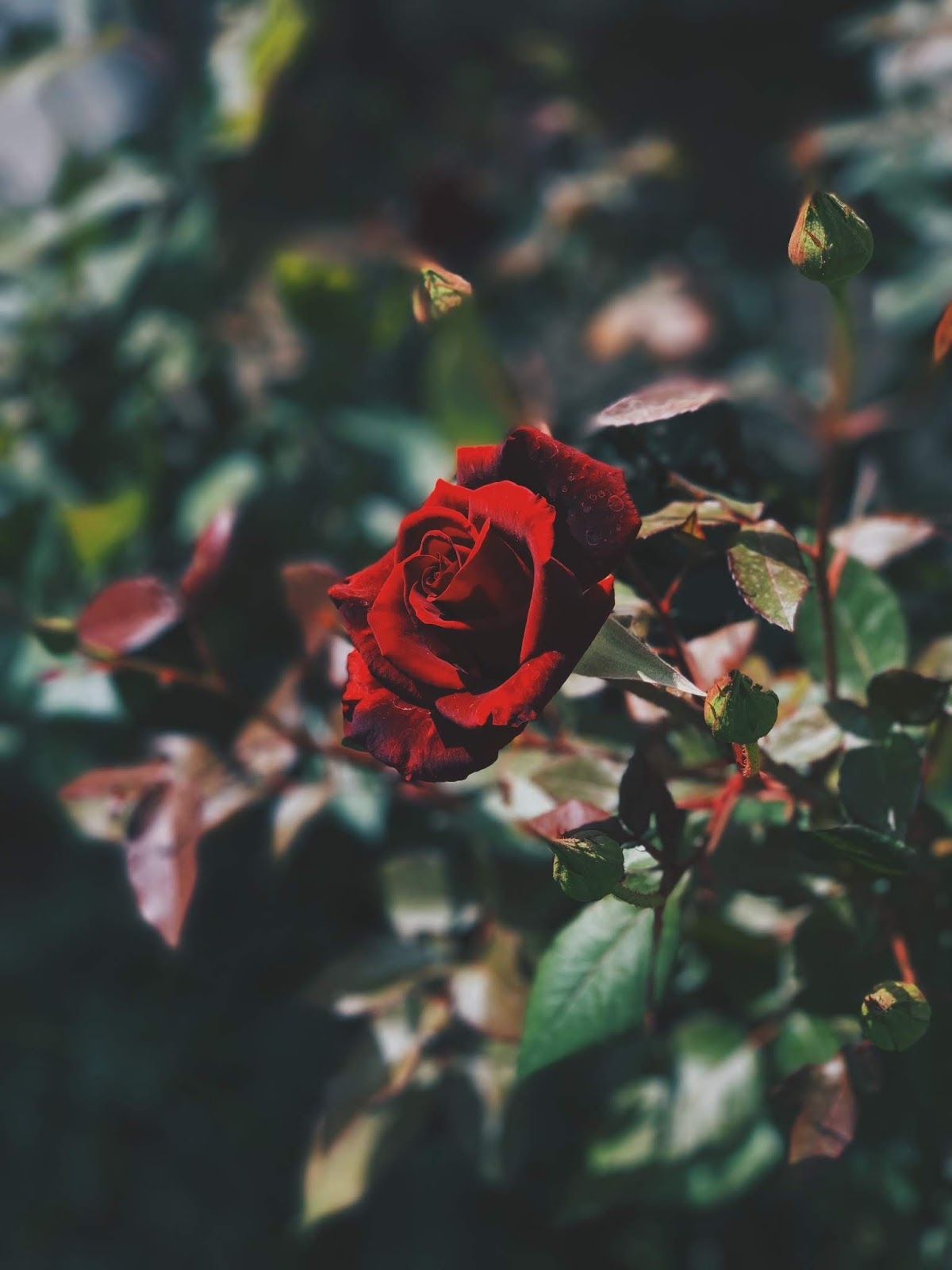 red rose plant, rose images
