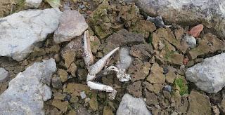 Restos de cangrejo americano, Pozo Ostión, La Arboleda, Bizkaia