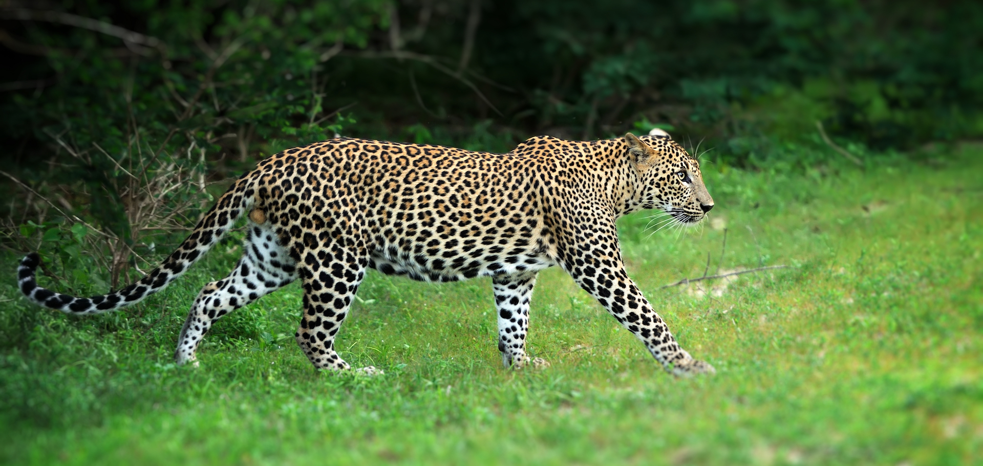 Leopard sighting in Cameroon raises hopes of conservationists
