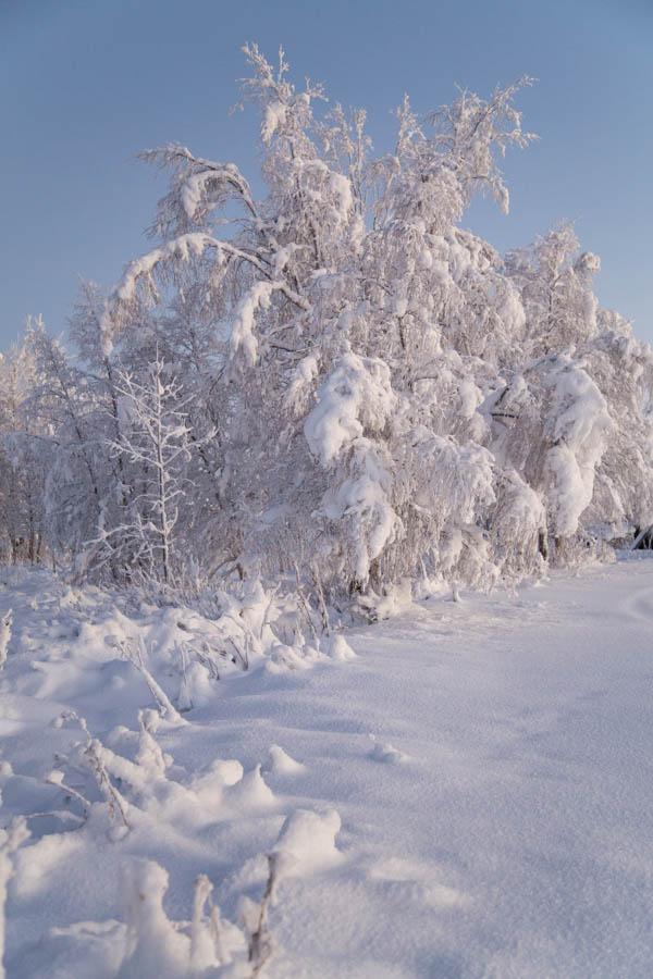 Lumiset puut kaamoksen valossa