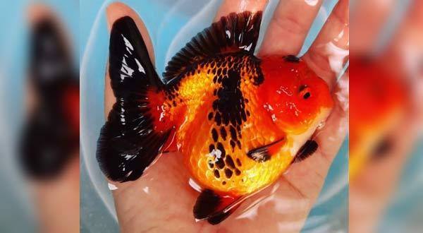 Memilih Ikan Mas Koki Yang Bagus Kualitas Kontes